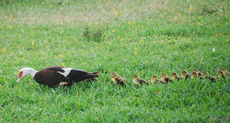 Muscovy ducks | Animal Rights Foundation of Florida