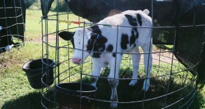 """replacement"" calf at Florida dairy farm"