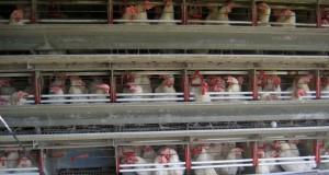 Florida egg farm