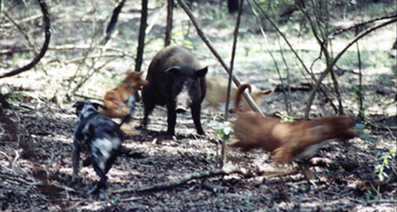 Wild pigs | Animal Rights Foundation of Florida