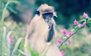 St-Kitts-monkey
