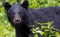 bear-smaller